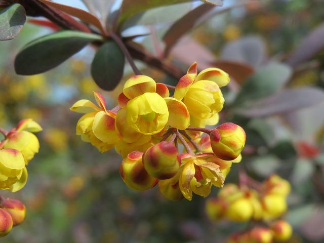 Berberis, Barberry, Shrub, Flora, Blossom, Macro