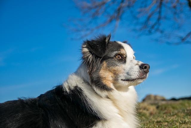 Dog, Berger, Australian, Australian Shepherd, Animal