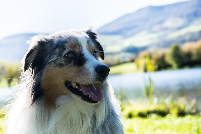 Dogs, Mountain, Landscape, Australian Shepherd, Berger