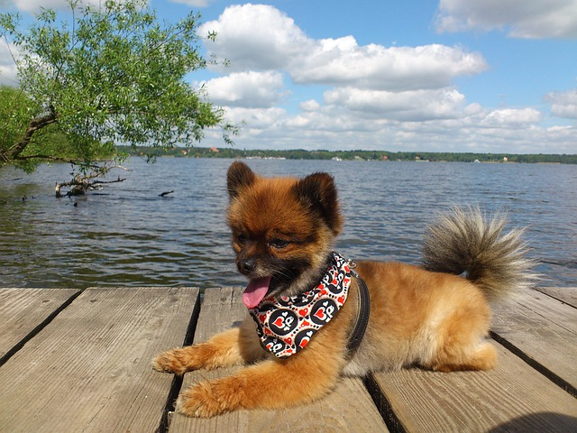 Dwarf Spitz, Wannsee, Berlin, Pomeranian, Dog