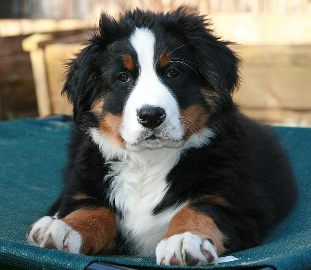 Bernese Mountain Dog, Puppy, Berner, Close