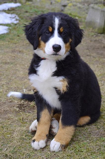 Puppy, Bernese Mountain Dog, Dog, Animal, Dear, Good