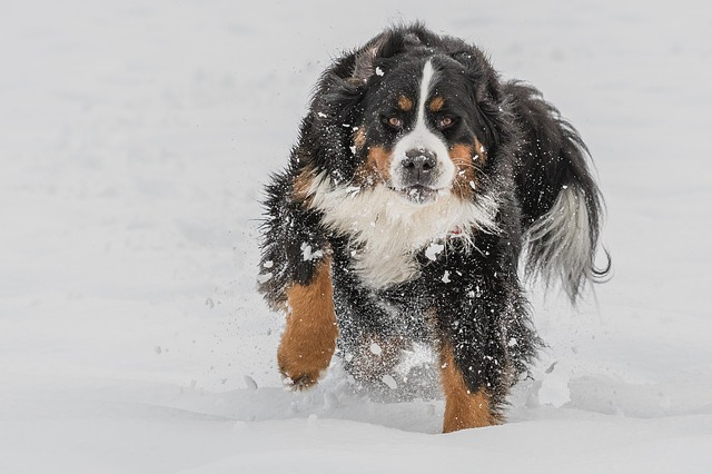 Bernese Mountain Dog, Cute, Animal, Dog, Winter, Snow