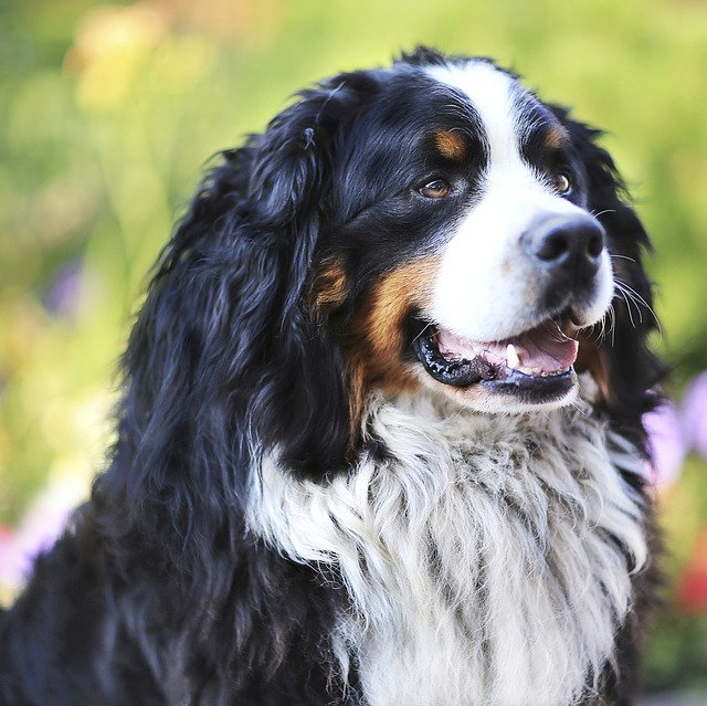 Dog, Bernese Shepherd, Shepherd, Man's Best Friend