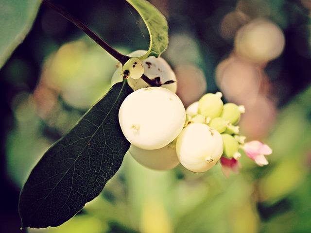 Snow Berry, Knallerbse, White, Bush, Berries