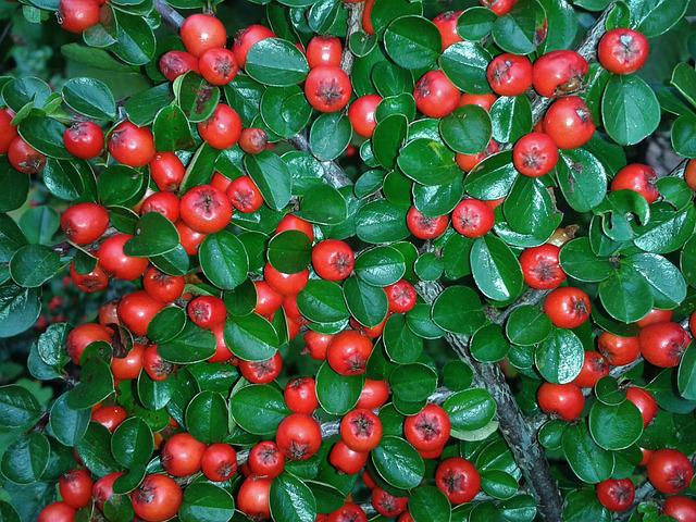 Cotoneaster, Berries, Red, Bush, Ground Cover