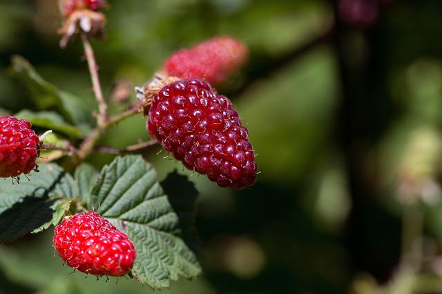 Blackberries, Berries, Fruits, Eat, Bramble, Plant