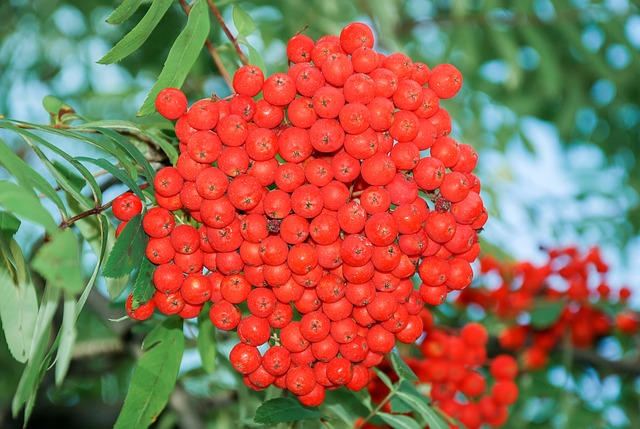 Rowanberries, Mountain Ash, Fruits, Berries, Red