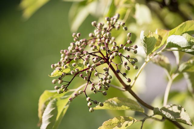 Elder, Fruits, Berries, Holder Bush, Sambucus Nigra