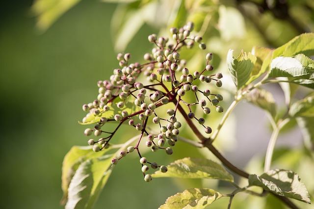 Elder, Fruits, Berries, Holder Bush, Sambucus Nigra