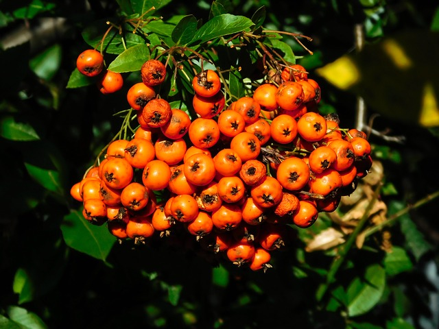 Firethorn, Berries, Bush, Periwinkle, Ornamental Shrub