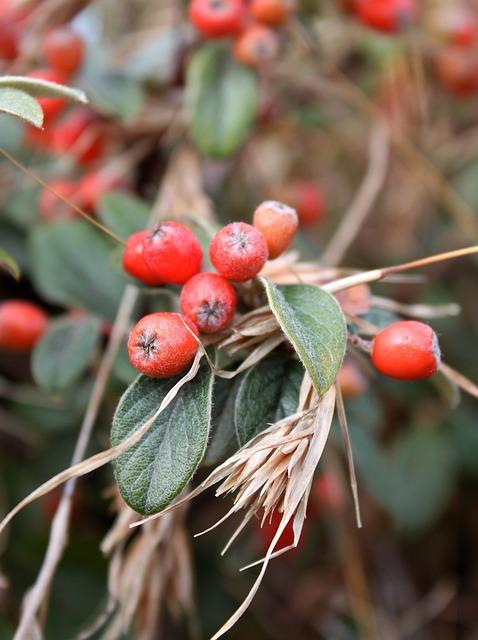 Red, Berries, Plant, Berry, Green, Leaf, Tasmania