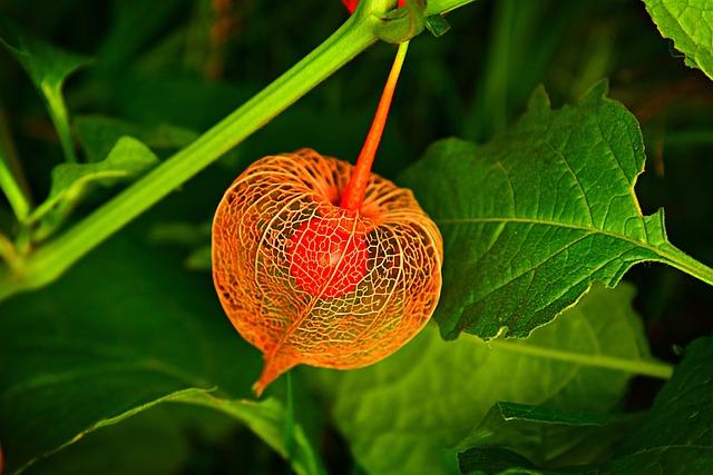 Chinese Lantern, Plant, Husk, Fruit, Berry, Physalis