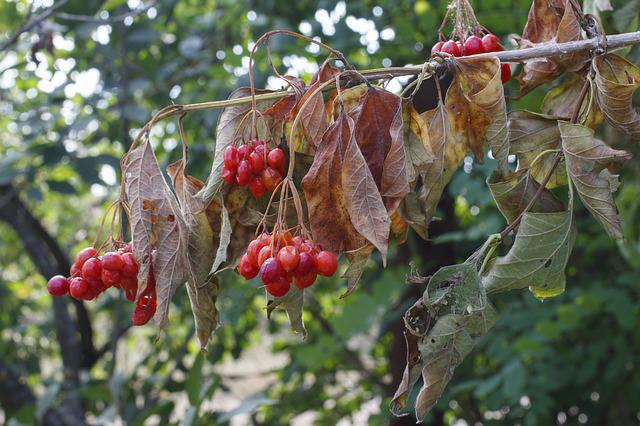 Viburnum, Berry, Red, Plant, Scorched, Withering