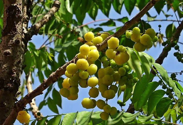 Berry, Ripe, Yellow, Star Gooseberry