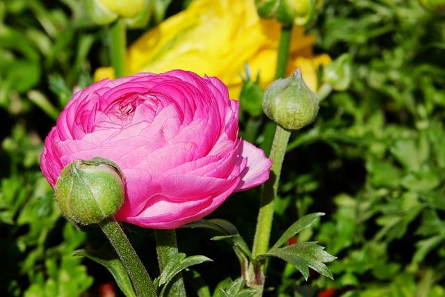 Ranunculus, Flower, Blossom, Bloom, Flowers, Bi Color