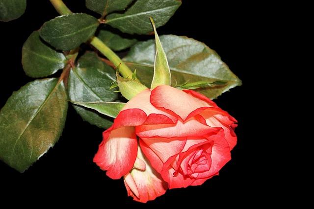 Rose, Blossom, Bloom, Bi Color, Red White