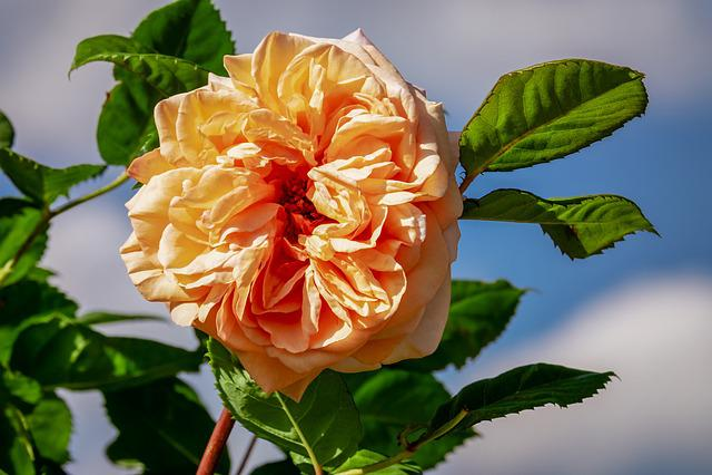 Rose, Blossom, Bloom, Bloom, Bi Color, Double Flower