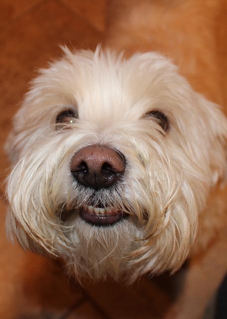 Dog, Bichon Frise, Terrier, Puppy, Furry, Nose, Pet