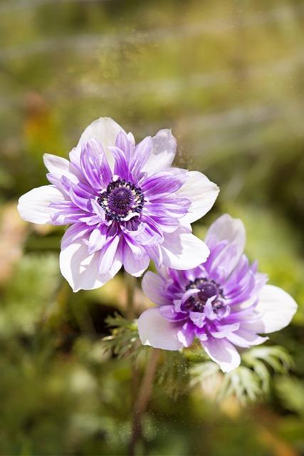Anemone, Purple-white, Bi Color, Bicolor Anemone