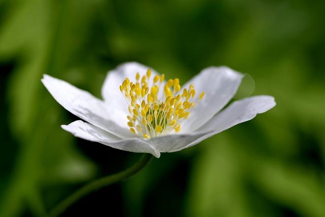 White Flower, Yellow Stamens, Biel, The Petals, Tiny