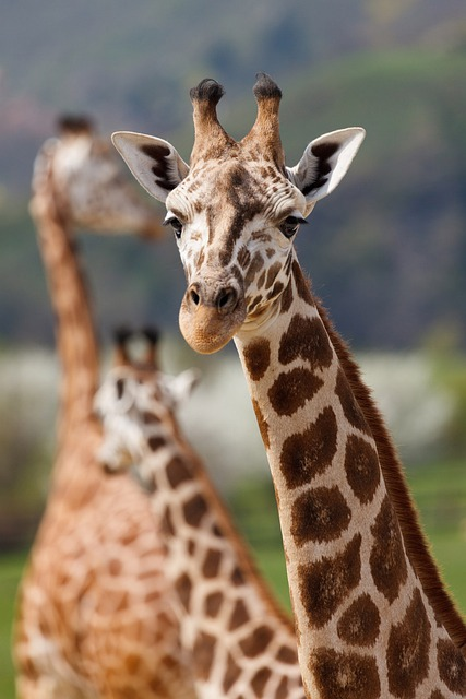 Africa, Giraffes, African, Animal, Big, Brown, Ears