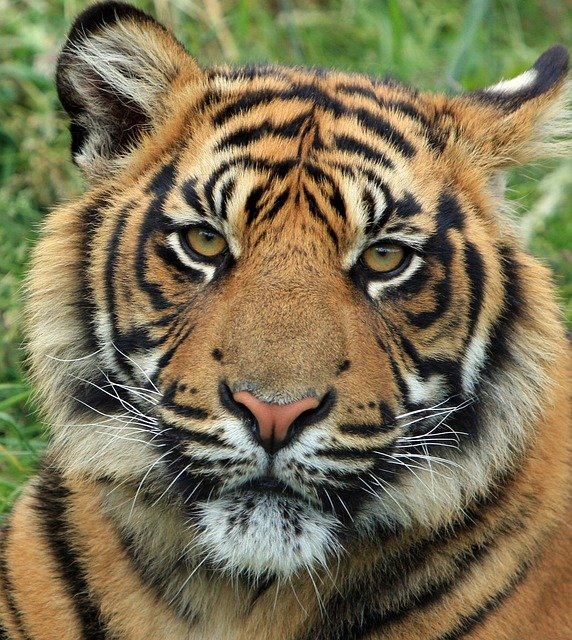 Tiger, Cub, Tiger Cub, Big Cat, Feline, Animal
