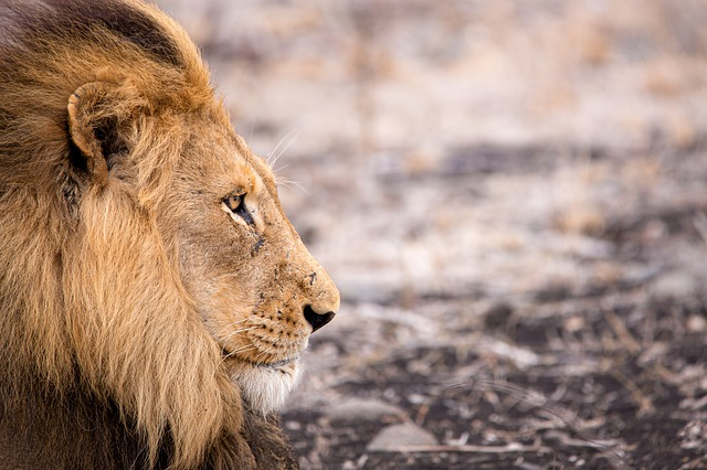 Lion, Wild Animal, Africa, Animal, Predator, Big Cat