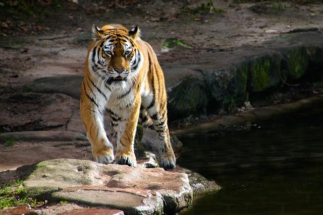 Animal World, Tiger, Predator, Big Cat, Carnivores