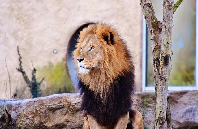 Lion, Big Cat, Predator, Lion's Mane, Mane, Cat, Wild