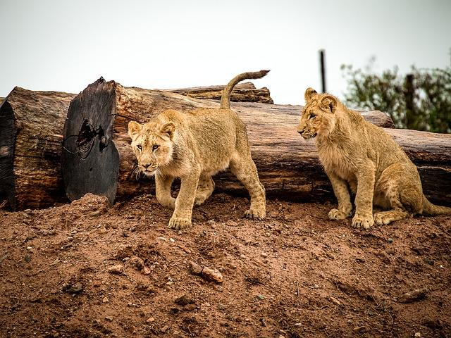 Lion, Lion Cub, Big Cat, Animal, Africa, Wildlife