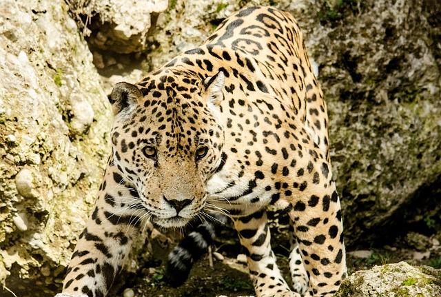Jaguar, Cat, Big Cat, Wildcat, Zoo, Tiergarten