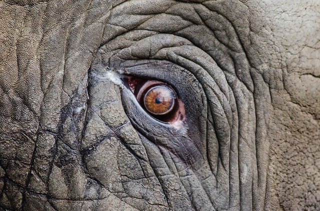 Animal, Big, Close-up, Elephant, Endangered, Eye, Face