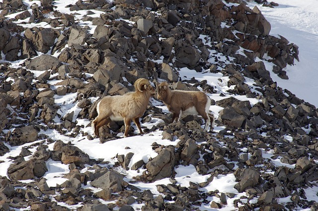 Bighorn Sheep, Couple, Sheep, Bright