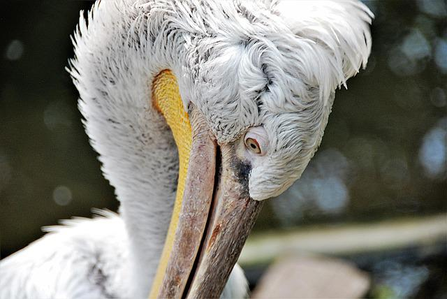 Pelikan, Close Up, Feather, Bill, Eye, Bird