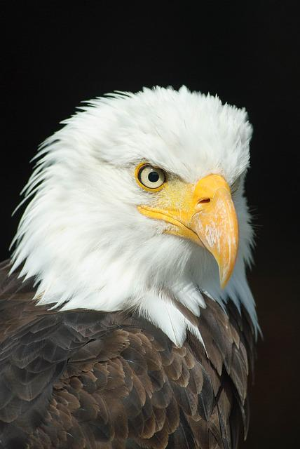 Bald Eagle, Adler, Bird Of Prey, Raptor, Animal, Bill