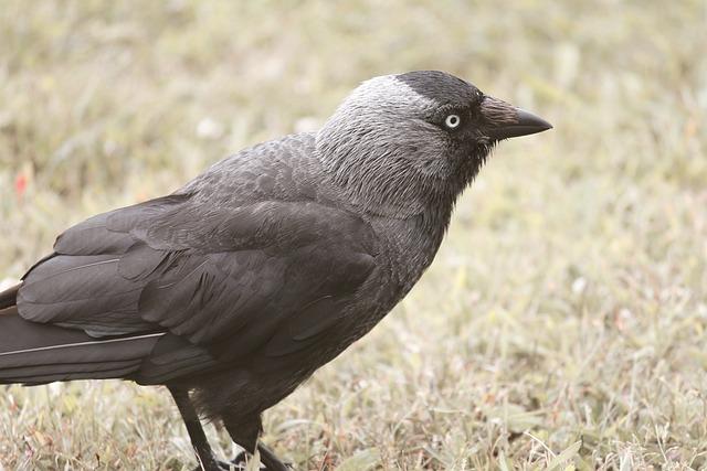 Jackdaw, Bird, Raven Bird, Corvus Monedula, Black, Bill