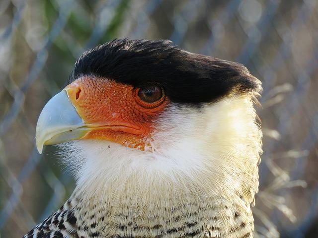 Caracara, Plumage, Raptor, Bill, Portrait
