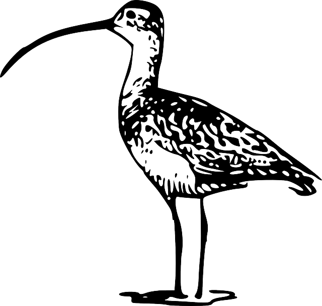 Curlew, Bird, Standing, Bill, Curved, Long, Fauna