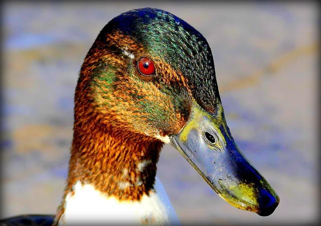 Duck, Duck Head, Bill, Water Bird, Animal Portrait