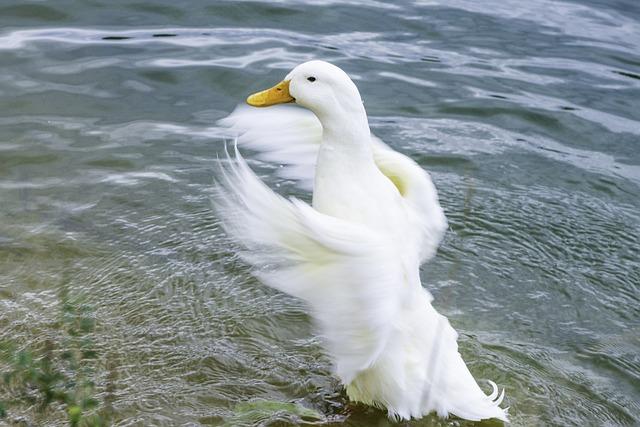 Duck, Goose, Lake, Nature, Water, Park, White, Bill