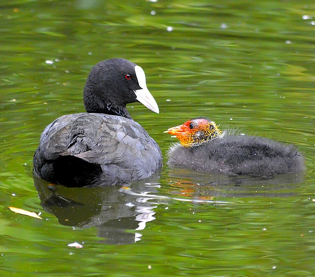 Coot, Chicks, Bill, Fluffy, Coots, Fluff, Nest, Animal