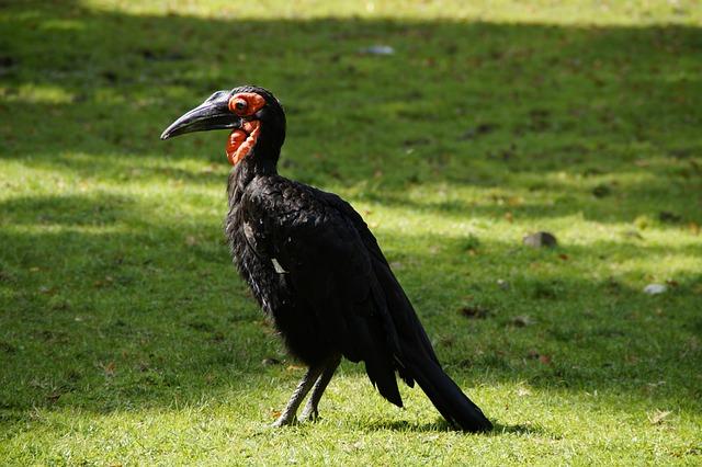 Ground-hornbill, Bird, Bill, Raven, Ground Birds