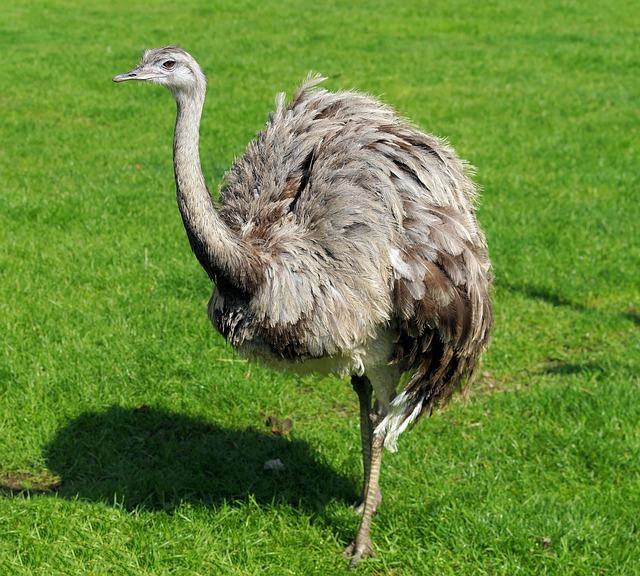 Rhea Bird, Flightless Bird, Bird, Head, Bill, Big Bird