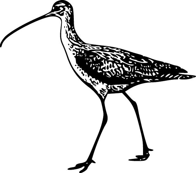 Curlew, Bird, Walk, Long, Bill, Curved, Birdlife, Fauna