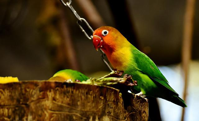 Lovebirds, Bird, Parrot, Colorful, Bill, Orange
