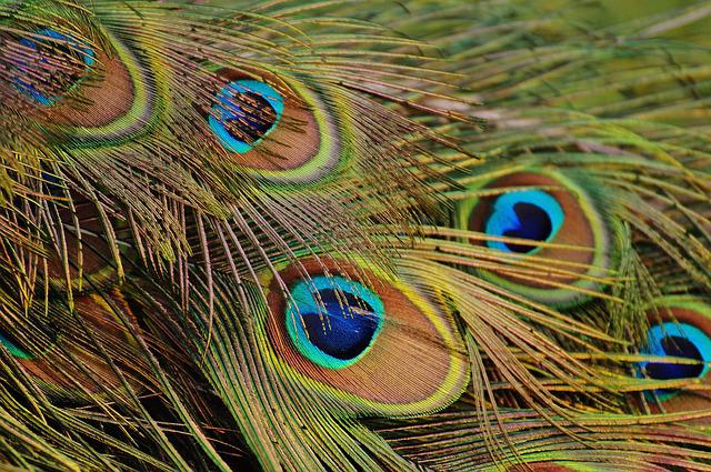 Peacock Feathers, Peacock, Bird, Poultry, Feather, Bill