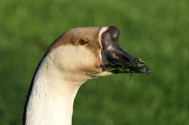 Goose, Bill, Portrait, Bird, Animal World, Nature
