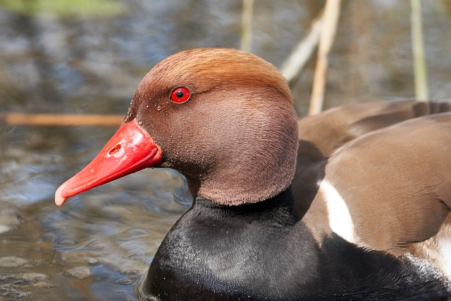 Duck, Bill, Red, Eye, Waters, Bird, Nature