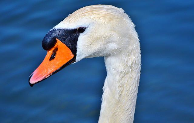 Swan, Swan Head, Water Bird, Bird, Bill, Head, White